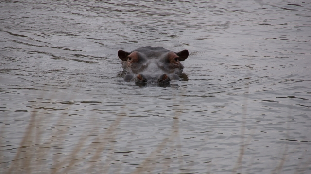 Hippo - Amazingwe, South Africa