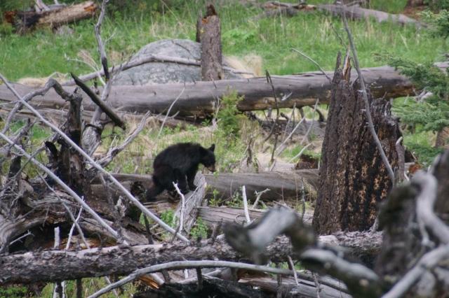 Bear at Yellowstone National Park.