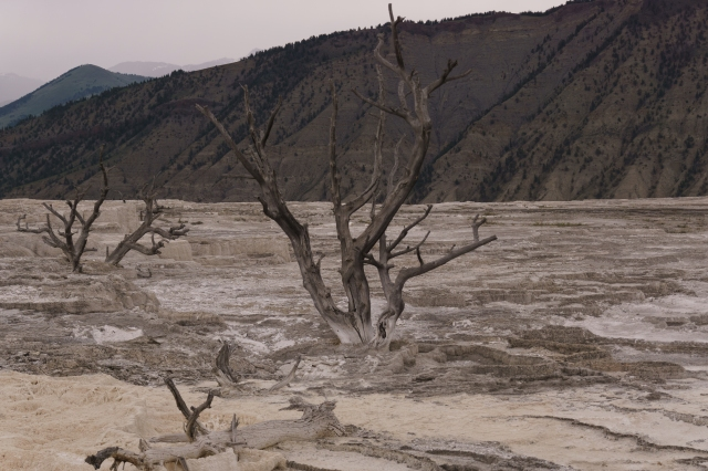 Dead trees in overrun by mineral deposits at Yellowstone National Park.