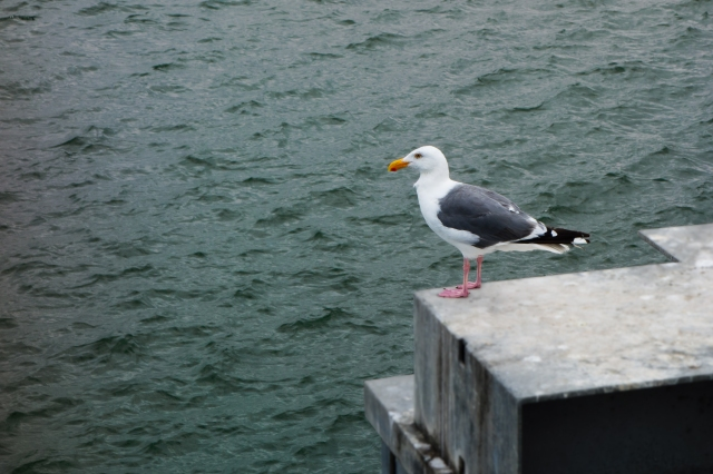 Seagull in Bandon, Oregon