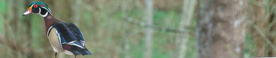 Wood Duck banner photo