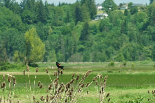 Red winged blackbird at the Ridgefield Bird Sanctuary
