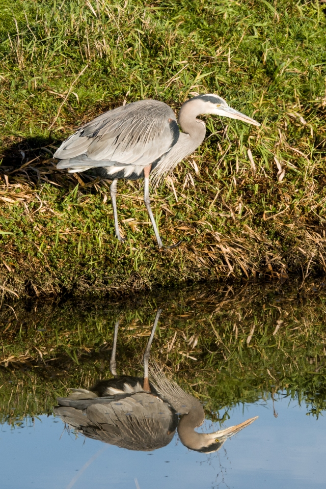 Great Heron fishing at Ridgefield Wildlife Refuge