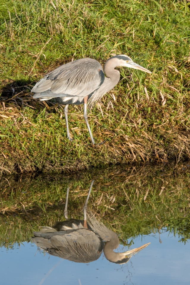 After LightRoom auto tone adjustment: Great Heron fishing at Ridgefield Wildlife Refuge